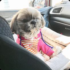 車の中では必ず抱っこ抱っこ!と甘えん坊全開でしたが、すぐに安心して外の景色を楽しんだ後、頭をフチに乗せて熟睡しました!詩紋ちゃん