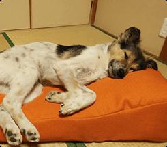 届いてすぐは寝てくれなかったけど、2日目にぐっすり寝てくれました!<br>                     ふかふかで、人間のお昼寝枕にもちょうどよいです。 ナナちゃん(MIX)