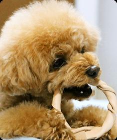 革のベルトが大好きな、愛犬もも。隙あらば噛み噛みされて、困っていました。この革製の噛み噛みおもちゃを与えたら、目の色を変えて、ご機嫌で噛んでいます。ももちゃん(トイプードル)