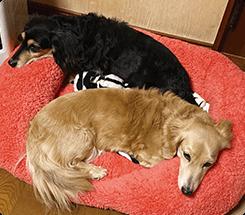 固綿で高齢犬の体にも負担が無さそうだったので購入しました。寝心地が良いみたいですぐに2匹仲良くあご乗せして気持ち良さそうにベッドに乗っています。ティファニーちゃん、クリスティちゃん(Mダックス) Sサイズ使用