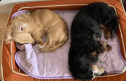 レモンちゃん(Mダックス) 先住犬に購入して約10年、型崩れすることなくあごをのせて気持ち良く寝てくれています。新入りの子犬が布をカミカミして一部破けたのでリュクスの替えカバーを購入。粗相してもすぐ拭き取れます。