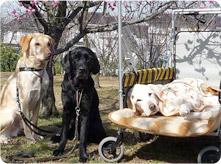3匹の盲導犬画像