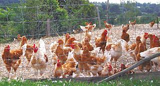 開放鶏舎で育てられている