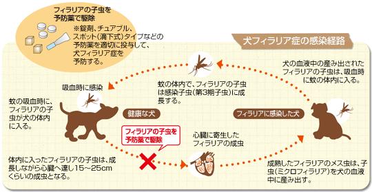 犬フィラリア症の感染経路