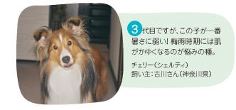 3代目ですが、この子が一番暑さに弱い!梅雨時期には肌がかゆくなるのが悩みの種。チェリー(シェルティ) 飼い主:古川さん(神奈川県)