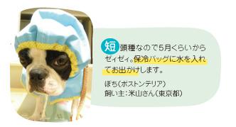 短頭種なので5月くらいからゼィゼィ。保冷バッグに水を入れてお出かけします。ぽち(ボストンテリア) 飼い主:米山さん(東京都)