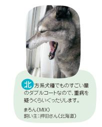 北方系犬種でものすごい量のダブルコートなので、重病を疑うくらいぐったりします。まろん(MIX) 飼い主:押田さん(北海道)
