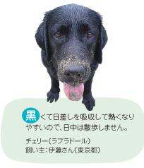 黒くて日差しを吸収して熱くなりやすいので、日中は散歩しません。チェリー(ラブラドール) 飼い主:伊藤さん(東京都)