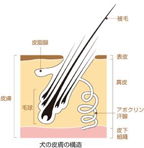犬の皮膚の構造