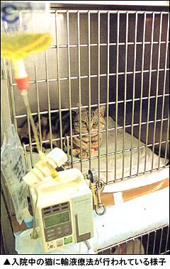 入院中の猫に輸液療法が行われている様子
