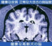 健康な高齢犬の脳