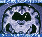 ダメージを受けた高齢犬の脳
