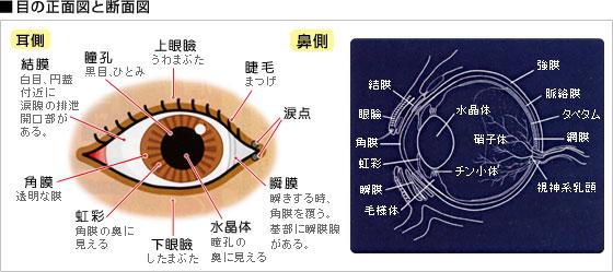 目の正面図と断面図