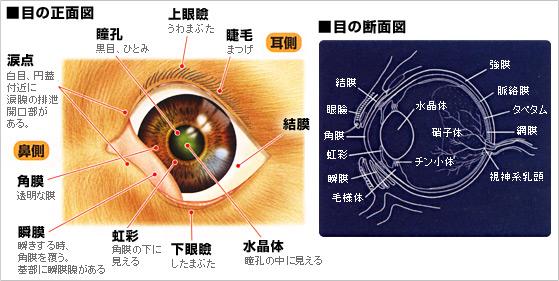 目の正面図、断面図
