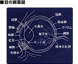 目の断面図
