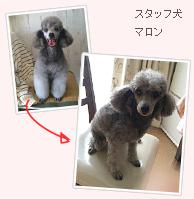 スタッフ犬 マロン