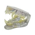 犬の歯と顎の透明模型