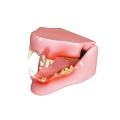 猫の歯と顎の模型