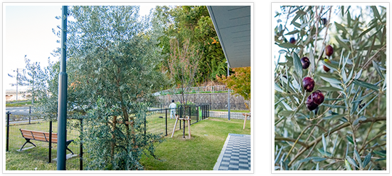 人と動物の共生を願って植樹したオリーブの木