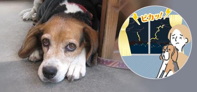 犬が雷や花火など大きな音を怖がる理由とその対処法