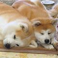 秋田犬桃太郎とすずらんのブログ