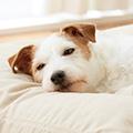 犬の咳、くしゃみ、鼻水の原因とは?考えられる病気と対処法を獣医師が解説!