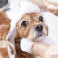 犬のシャンプーを上手にする方法 【トリマーさんのプロ技シャンプー術】