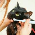 猫の歯周病とデンタルケアの大切なお話