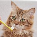 【獣医師監修】『猫のデンタルケア』