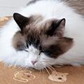猫の慢性腎臓病(CKD)とは?原因や対策、脱水管理について獣医師が解説