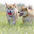 犬同士が仲良しの時に見せる行動・サインって何?