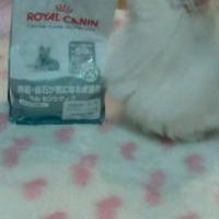 【歯垢・歯石が気になる猫に】 ロイヤルカナン オーラルケア