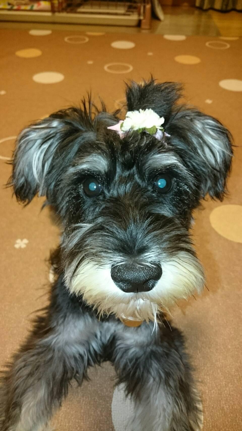 【室内で生活する小型犬の子犬用】 ロイヤルカナン ミニインドア パピー
