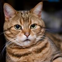 ナチュラルチョイスキャット 室内猫用 アダルトチキン (ナチュラルフード)