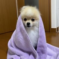 クイックドライタオル (犬猫用吸水タオル)