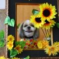 ひまわりと笑顔犬